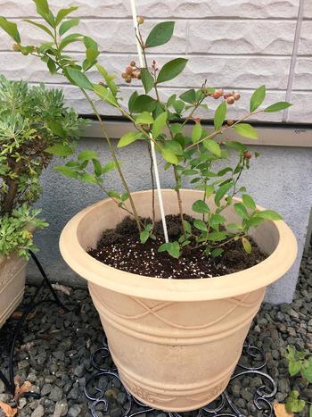 実のなる植物を賃貸住宅のベランダスペースで育てたい!という人にオススメなのがブルーベリー。樹姿も美しく、花や実の色の変化が楽しめて、季節を通じて愛らしい姿を見せてくれますよ。