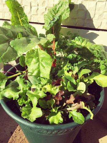 まるで生きたサラダボウル。いろんなベビーリーフが賑やかに寄せ植えされています。一種類でもシンプルにまとまりますが、いろんな色味、背丈や葉っぱのバリエーションを楽しめる寄せ植えもオススメです。  写真の野菜はリーフレタス、サラダほうれん草、チャービル、スイスチャード。