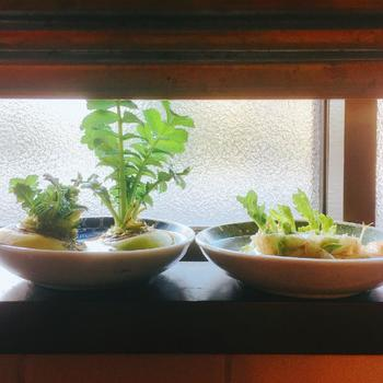 スプラウト以外にも、水だけで育てられるキッチンガーデンがあります。 こちらは大根。スーパーでは切られてしまっていることが多い大根の葉っぱ。根元とヘタの部分をそのまま日当たり良好な場所で水耕栽培で育てて、お味噌汁や炒め物にしたら美味しいですよ。 人参、ねぎなどもおすすめです。