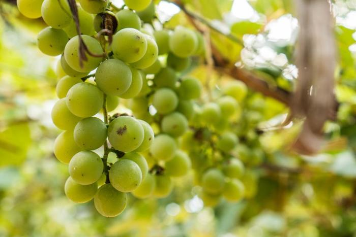 洋菓子でも和菓子でも、緑のブドウでも、赤いブドウでも、どちらも楽しめてしまう、ブドウスイーツ。干しぶどうなら、さらにいろいろな可能性がありますね。  プチッと、ジューシーなブドウがお菓子に…想像するだけで、幸せが広がります!