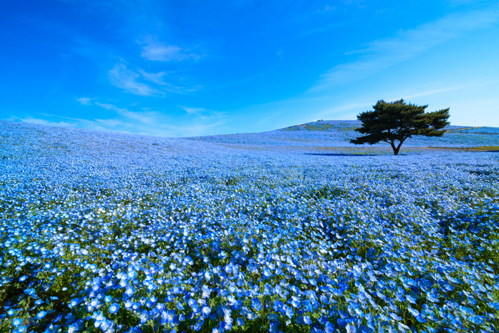 """""""みはらしの丘""""一面に咲くネモフィラで有名な、国営ひたち海浜公園。真っ青な空と、地上にどこまでも広がるネモフィラの花畑は思わず息を飲む美しさです。見頃は4月下旬~5月中旬。"""