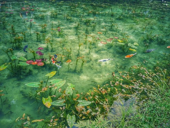 通称「モネの池」は、岐阜県関市にあります。もともとは名前のない池でしたが、透明な池に鯉が泳ぐ姿がモネの名画「睡蓮」に似ていることから、その美しさが評判となり、「モネの池」と呼ばれるようになりました。