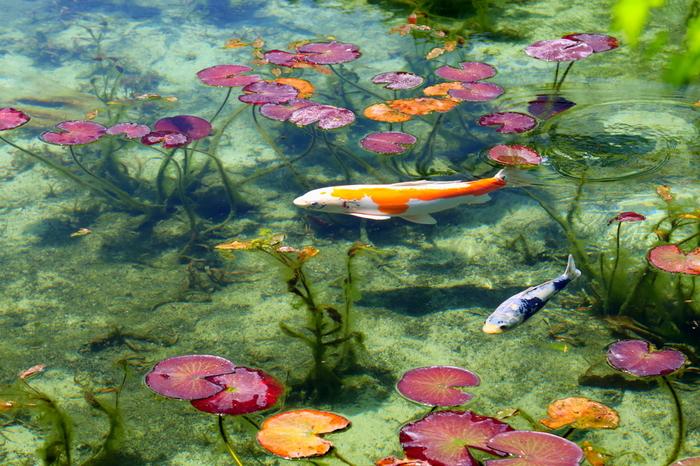 絵の中に迷い込んだかのような、幻想的な景色が広がります。季節や時間、日の当たり方によって、さまざまな見え方が楽しめます。特に、睡蓮の花が咲く初夏は絶景だそうですよ。