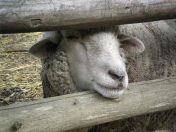 こちらは羊ゾーン。動物たちを見て回るだけで、心がほっこり癒されそうですね!