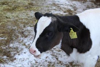 時には、こんな可愛らしい子牛に出会えるかも! 生まれて1週間の仔牛♪興味があるのか、人懐っこくてとってもキュートです!