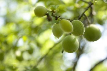 そろそろ梅雨の季節がやって来ますね。「梅雨」という言葉の通り、この時期は梅が熟す頃です。