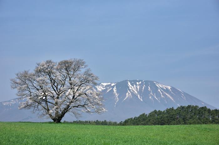 盛岡市に隣接する雫石町にある小岩井農場。ここにはNHK連続テレビ小説「どんど晴れ」で有名になった「一本桜」があります。まだ雪の残る青い岩手山と緑の牧草地、そこに一本だけ桜が咲き誇り、自然の持つ美しい色合いを見せてくれます。足をのばしてでも訪れたい場所です。