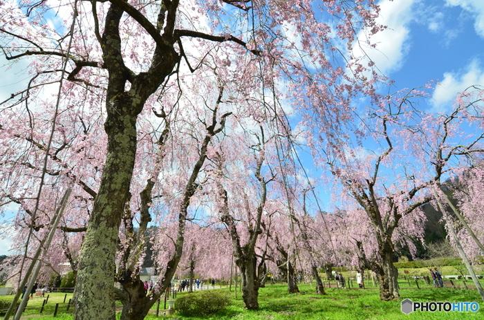 盛岡市郊外にある米内浄水場。普段は立ち入ることができませんが、桜の時期だけ開放されます。澄み切った空にベニシダレ桜の濃いピンクがよく映えます。浄水場内にある煉瓦造りの建物も国指定の文化財となっていて、見ごたえがありますよ。