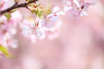 暖かな春を迎え、桜が咲きだすと本当に嬉しいものですね。縦に長い日本では、地域によって開花時期がだいぶ異なります。桜とともに移動しながら各地の桜を楽しむという方も多いのではないでしょうか。