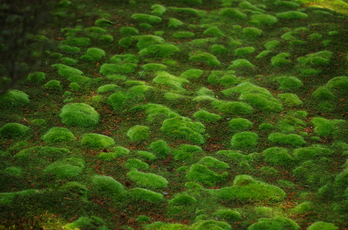 こちらはもこもことした苔。 何と、西芳寺には120種類もの苔が生えているんです!