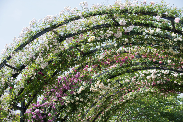 アーチは約80mほどの距離を持ち、色調を合わせた色々な種類のバラが育っています。場所により趣を変えた姿が楽しめるのは嬉しいですね。