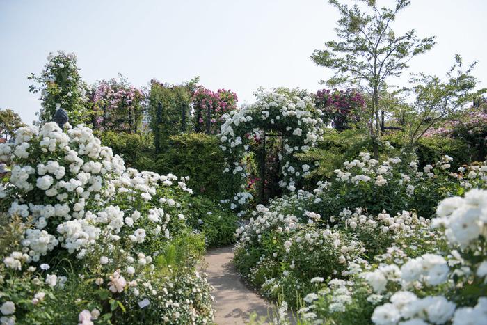 ガーデン内はアーチのほか、ローズ&クレマチスガーデン、ローズ&ペレニアルガーデン、ローズ&ハーブガーデン、ローズ&グラスガーデン、ローズ&シュラフガーデンと5つのエリアに分けられ、テーマに合わせた花々が育てられています。写真はペレニアルガーデン、いわゆるホワイトガーデンで、純白や象牙色などの花や白斑の葉で彩られています。 園内は芝生広場を中心に回遊式のガーデンとなっており、写真のような木道の散策路や涼しげな小川と池もあります。