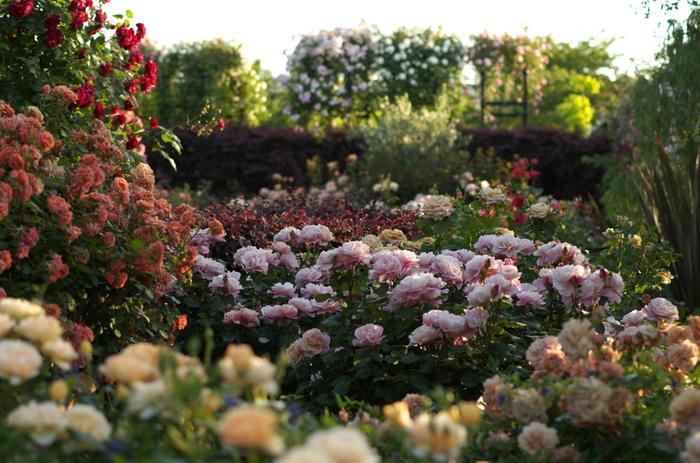 ガーデン内での一番の見どころは、何といっても1200種類・1700株ものバラ。夏バラ、秋バラ、弦バラと様々なバラが、ガーデン内の各で育てられています。入口も兼ねるショップ棟を出てすぐにあるバラのアーチは、5月中旬からの夏バラの季節には必見です。爽やかに色づいたバラの花がこぼれ落ちそうなほどたくさん咲きます。