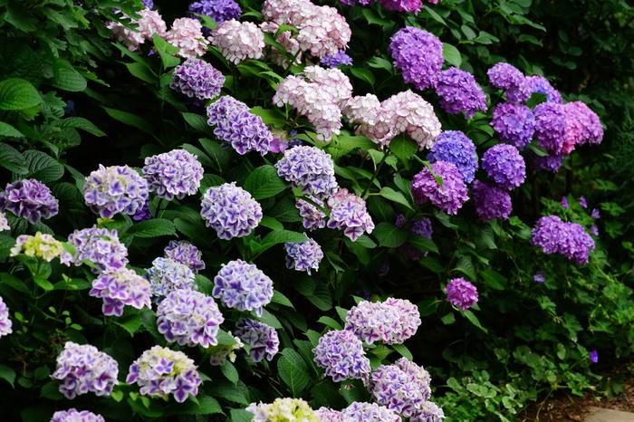 梅雨の季節には鮮やかな紫陽花の花が咲き誇り、しっとりとしてまた趣があります。四季を通じて訪れたい横浜イングリッシュガーデン。横浜駅からも遠くなく、季節によっては早朝開園も行っています。お仕事前に立ち寄るのも素敵ですね。