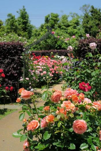 バラを集めたエリア「薔薇の轍」は品種園も兼ねていますので、最盛期の園内はとても見事です。約1170種類が育てられています。バラの他にはクレマチス、アジサイ、サクラ、サルズベリ、山茶花、睡蓮、ユリにクリスマスローズなどなど、本当にたくさんの花が楽しめます。植物園ですのでこまめに説明プレートも備えられ、どんな種類かすぐわかるのも嬉しいです。