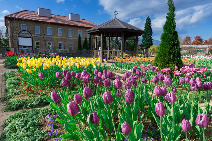 アグリゾーンは夏期に体験農場としてたくさんの野菜が作られます。ここは初春に一面のチューリップ畑に変身します。2014年から始まった試みで、今年も60000本前後のチューリップが満開となりました。色とりどりのチューリップが色ごとに植えられ、訪れる人達を可愛らしく迎えてくれます。