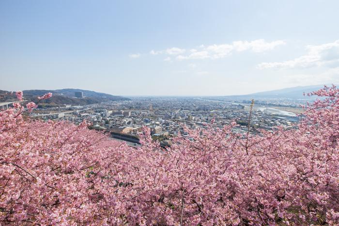 このガーデンの見どころはハーブだけではありません。3月には斜面いっぱいに植えられた河津桜が満開となるのです。河津桜と言えば本場は東伊豆ですが、松田山の桜もよく育ってきたため、新たな名所として注目されています。桜の他には、秋のコスモス、冬のクリスマスローズ、早春の菜の花が綺麗です。