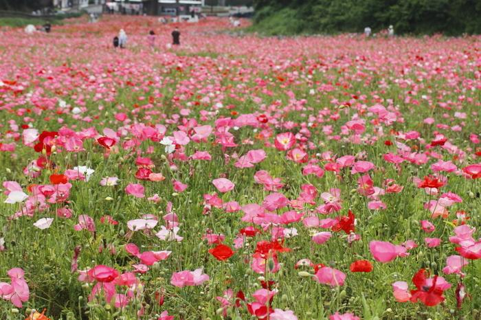 前身はアメリカ軍の倉庫で、変換後に横須賀市が市立公園として整備しました。市街地からも近く、市民のいこいの場として親しまれ、春にはポピー、秋には100万本のコスモスが咲く花の名所としても知られています。