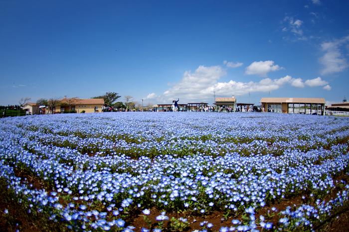 一面のネモフィラといえば茨城県のひたち海浜公園が有名ですが、近頃はこちらでも楽しめるようになりました。ゴールデンウィーク前後の時期に、コスモスと同じ斜面が蒼く染まり、早春には菜の花畑が広がります。