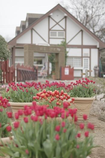 """ここ""""くりはま花の国""""では、真冬に花開くアイスチューリップ3000本を見る事が出来ます。愛らしい花が咲き誇り、一足早く春が訪れたみたい… アイスチューリップは、球根を冷凍貯蔵することで開花時期をずらして栽培したものだそうで、冷凍球根を野外に出ことで、温度差が生じ、春が来たと勘違いして真冬でもチューリップの花が開くんだとか!"""