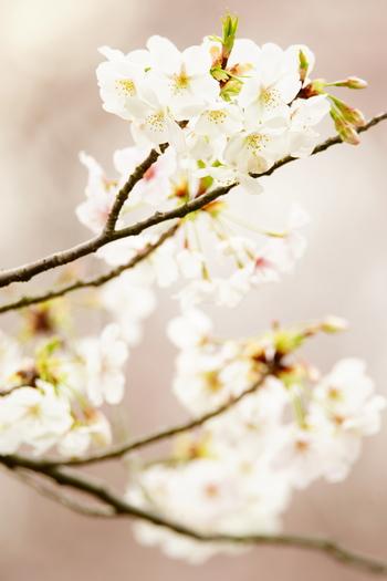 春には桜!