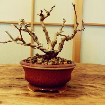 植え終わったら、あとは毎日のお世話を忘れずに。徐々に好みの樹形になるよう、針金を使って少しづつ枝を曲げていくと、木に負担をかけずにゆっくりと好きな樹形に整える事ができます。