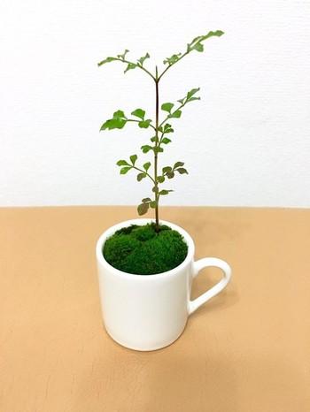 盆栽鉢を買わなくても、余ったり使わなくなったマグやカップがあれば、ちょっと洋風なミニ盆栽を作ることもできますよ。