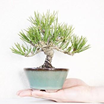 盆栽といえば、「松」のイメージですよね。たくさんある松の種類の中でも、「黒松」や「五葉松」が人気です。