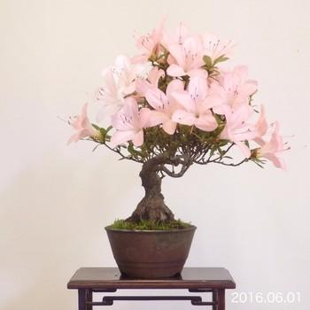 柔らかいイメージの花がたくさん咲く「サツキ」はいかが?花色も赤・白・ピンクなど、お好みに合わせて選べるのも嬉しいですよね。