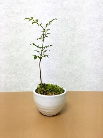 洋風のおうちなら、「シマトネリコ」も和洋問わず合わせやすい植物です。小さな葉っぱが可愛らしい植物です。