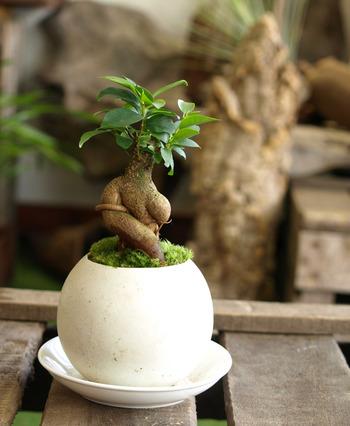 「ガジュマル」もミニ盆栽として仕立てることができます。面白い樹形が人気の観葉植物です。