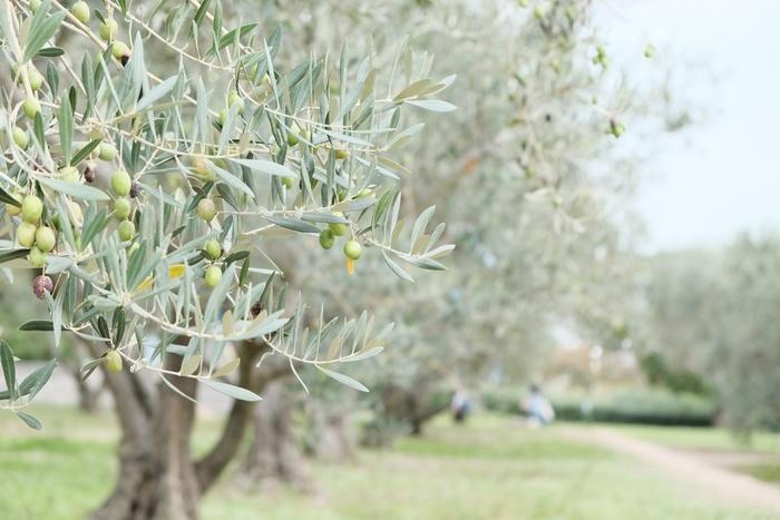オリーブの果実から得られるオリーブオイル。主にイタリア、スペイン、ギリシャなどの地中海に面した地域で、お料理から化粧品、薬品、石鹸まで、日常生活の中で幅広く使われています。パスタ作りやドレッシング作りでは欠かせないオイルですよね。