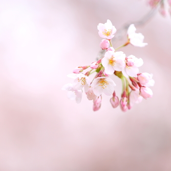 桜をメインにして、買い物や街歩き、ご飯までしっかり楽しめる盛岡の街。派手さはなくてもなんとなく心に残る良いところです。桜とともに訪れてみてはいかがでしょうか。