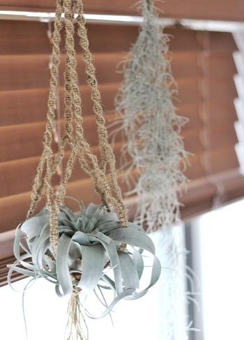キセログラフィカを吊っているのは手作りのマクラメ編み。ウッドブラインドのナチュラルな質感とも相性抜群です。