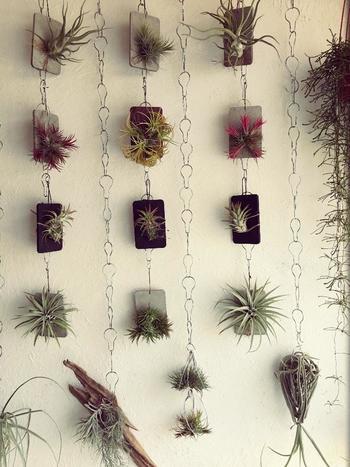 板に着生させたエアプランツをチェーンで連結して壁面でハンギング。まるで植物図鑑みたいですね!