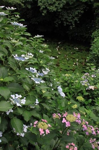 蓮の葉が浮かぶ池を取り囲むように咲くアジサイの花は可憐で、境内にある庭園の美しさを引き立てています。