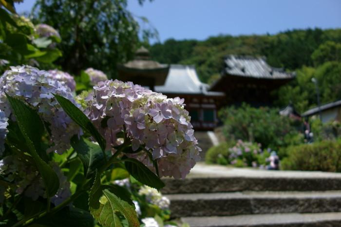 矢田寺は、7世紀後半に天武天皇によって創建された奈良県大和郡山市にある寺院です。