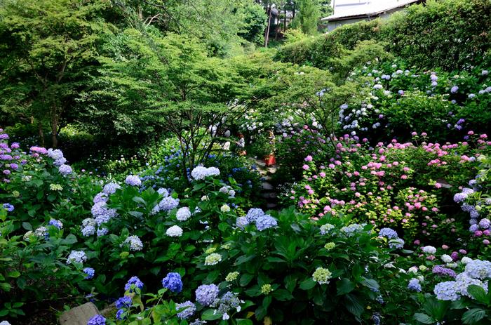 「あじさい寺」とも呼ばれる矢田寺の境内には、約60種類、約10000株ものアジサイが植えられており、梅雨の時期になると次々と綺麗な花を咲かせます。