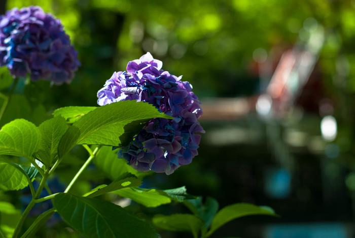 毎年6月頃になると、境内のあちこちで美しい花を咲かせたアジサイを見かけることができます。奈良県桜井市の山間部と由緒ある神社境内が織りなす素晴らしい景色が広がる談山神社で、アジサイ鑑賞を楽しんでみてはいかがでしょうか。