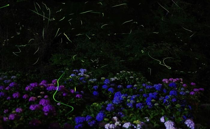 湿度が高くなる梅雨の時期には、ホタルが乱舞します。アジサイ鑑賞を楽しみながら、ホタルが飛び交う幻想的な世界を訪れてみませんか?