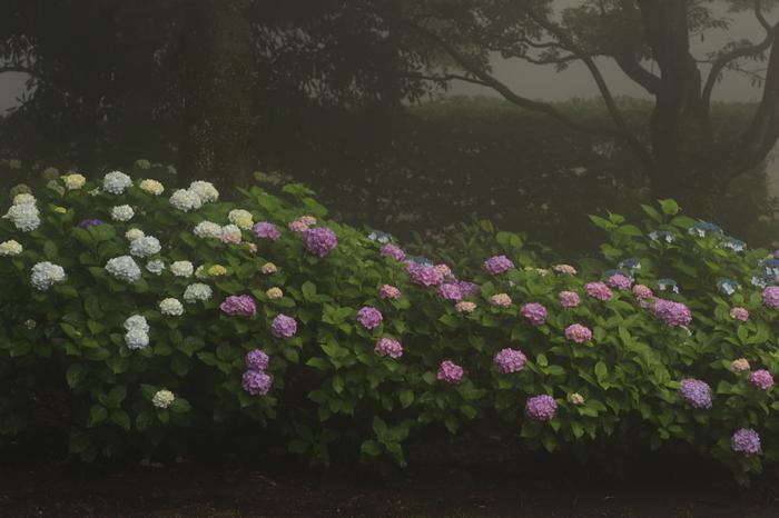 日本一の桜の名所として有名な世界遺産・吉野山はアジサイの名所でもあります。春は一目千本の桜、初夏にはアジサイが咲き誇り、秋は山一面が燃え盛る炎のように紅葉する吉野山では四季折々で美しい景色を見ることができます。