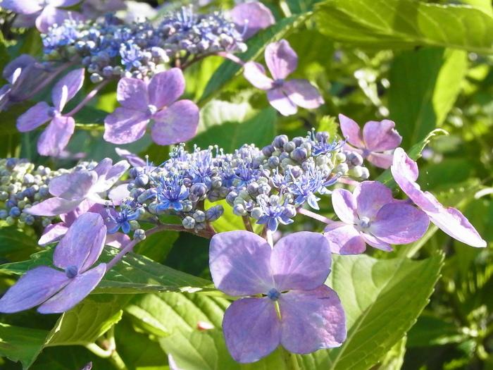 「コスモス寺」と呼ばれる般若寺では、秋のコスモスが有名ですが、般若寺の魅力はコスモスだけではありません。梅雨の季節になると、アジサイが次々ときれいな花を咲かせます。50種類、約500株もの鉢植えのアジサイが並ぶ姿は圧巻で、参拝者を魅了してやみません。