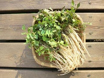 春の七草粥にも用いられている『セリ』。たくさん手に入ったらセリ鍋なんかもおすすめです。 野生のセリは灰汁(あく)が強いので、灰汁抜きをしっかり行ってから調理しましょうね。