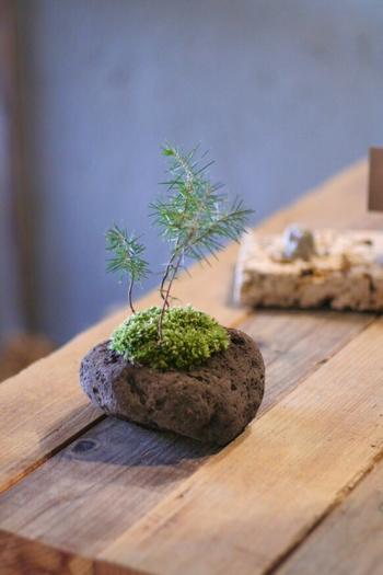 陶磁器の盆栽鉢も素敵だけど、変り種の盆栽鉢を探してみるのも楽しいんです。ちょっとした窪みのある石や岩も、ミニチュアなら盆栽鉢として大活躍できます!