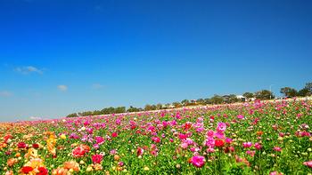 こちらはアメリカ、カリフォルニア州カールスバッドのラナンキュラスの花畑「ザ フラワーフィールド」です♪広大な敷地に色とりどりのお花がどこまでも続いています。