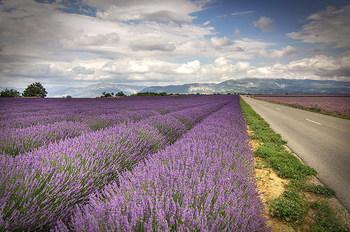 南フランスのプロヴァンスと言えば、紫の絨毯が一面に広がるこの光景。6月~8月にかけて見られる美しいラベンダー畑は、誰もが一度は訪れてみたいと思う旅先ですよね。