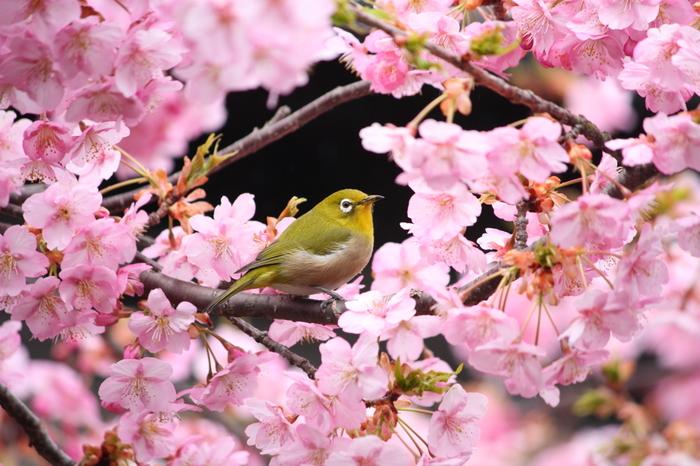 鮮やかなウグイス色のこちらの鳥、ウグイスではなく、「メジロ」と言います。目の周りが白いので目白。春になると花の蜜を吸いに梅や桜の花に飛んでくる鳥です。  目の周りが黒いメグロという鳥もいますが、そちらは小笠原諸島固有の珍しい鳥です。