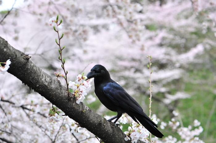 真っ黒なカラスは人気者とはいえませんが、実はとても賢く、じっと見ていると動きが面白く飽きません。地面を「跳ねる」か「歩く」かしかできない鳥が多い中で、カラスはどちらもできます。真っ黒な羽色も、光の加減で緑や青に見えたり、意外な美しさに驚かされる鳥です。