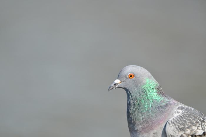 公園などでよく会うのは鳩。上品なグレーから紫まで、玉虫色のグラデーションに、淡いエメラルドグリーンの差し色が特徴的です。