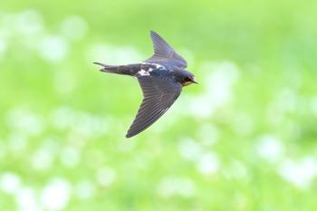 飛ぶ姿の美しさから、モチーフとしても人気の高いツバメ。渡り鳥でもあるツバメは、日本が冬の間は台湾、フィリピンなどの南国で過ごし、暖かい春になると日本に戻ってきて、関東では5月の初旬から巣作りと子育てをする姿がよく目撃されます。駅やお店やさんの軒先でも微笑ましい光景を見られたりしますね。
